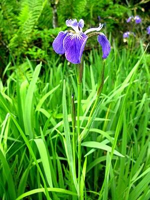 Iris setosa -  Iris setosa in Fukushima, Japan
