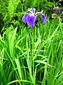 Iris setosa.JPG