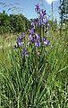 Iris sibirica 180605.jpg