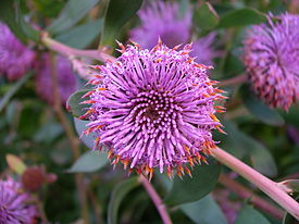 Isopogon cuneatus