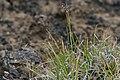 Isstarr - Carex glacialis0250 - Flickr - Ragnhild & Neil Crawford.jpg
