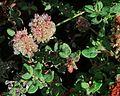 J20161013-0020—Eriogonum parvifolium—RPBG—DxO (30415696485).jpg