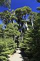 J25 259 Nothofaguswald.jpg