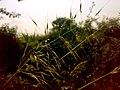 JNU Grass.jpg