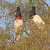 Jabirus (Jabiru mycteria) on nest.JPG