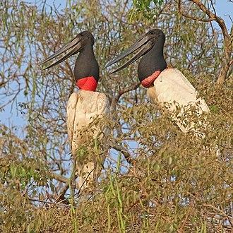 Jabiru - Image: Jabirus (Jabiru mycteria) on nest
