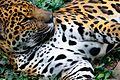 Jaguar (33808518783).jpg