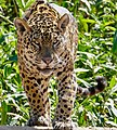 Jaguar (Panthera onca) young male coming to drink ... (48691705868).jpg