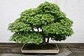 Japanese Maple (Acer palmatum) (3504674815).jpg