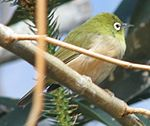Japanese White Eye 1.jpg