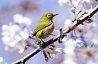 Japanese white-eye at Tennōji Park in Osaka, March 2016.jpg