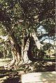Jardin de Pamplemousses (3001704040).jpg