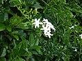 Jasminum fluminense Vell. (AM AK289662-3).jpg