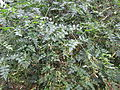 Jasminum grandiflorum - പിച്ചകം.JPG