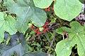 Jatropha podagrica 13zz.jpg
