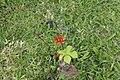 Jatropha podagrica 28zz.jpg