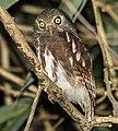 Javan Owlet - Carita - Java MG 3575 (29030338883) (cropped).jpg