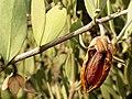 Jojoba Nut - Flickr - treegrow (4).jpg