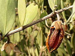 Jojoba Nut - Flickr - treegrow (4).jpg