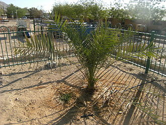 Ketura, Israel - The Judean Date Palm at Ketura, nicknamed Methuselah