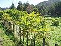 Juglans ailantifolia Carrière (AM AK289845-3).jpg