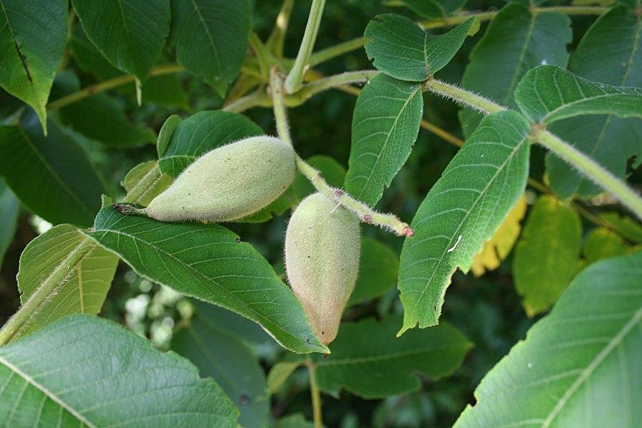 Manchurian walnut walnut