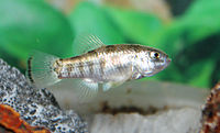 Julimes pupfish (Cyprinodon julimes) male.jpg