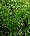 Juncus bufonius plant (16).jpg