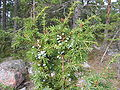 Juniper-berries-green FI-EU 2007-Sep-09 by-RAM.jpg