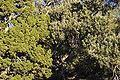 Juniperus osteosperma - Pinus monophylla White - Inyo Range.jpg