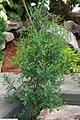 Juniperus virginiana 18zz.jpg