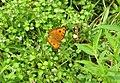 Junonia almana - Peacock Pansy 11.jpg