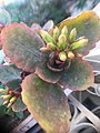 Kalanchoe blossfeldiana , photo by Hatem Moushir 14.jpg