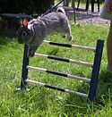Rabbit jumping over a fence at a competition