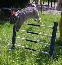 Ein Kaninchen bewältigt ein Hindernis
