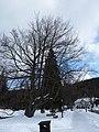 Karlova studánka, dub lesní (památný strom).JPG