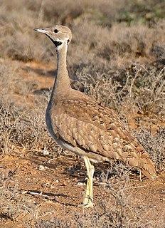 Karoo korhaan species of bird