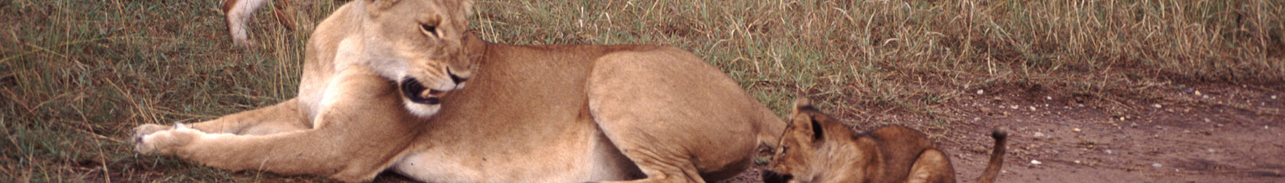 Kenya banner Lioness and cub.jpg