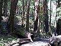 Kerry on path in Muir Woods (2399741910).jpg