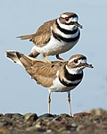 Killdeer copulating