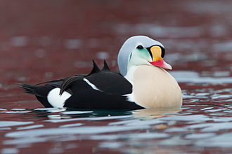 King eider - Adult male