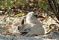 Kiritimati AKK Redtailed Tropicbird.jpg