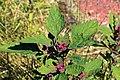 Kluse - Chenopodium giganteum - Magentaspreen 01 ies.jpg