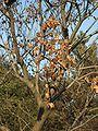 Koelreuteria paniculata' capsule by winter.JPG