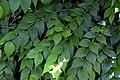 Kolkwitzia amabilis 04.jpg