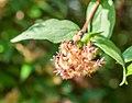 Kolkwitzia amabilis in La Jaysinia (1).jpg