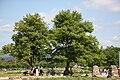 Korea-Gyeongju-Trees near Gyeongju Seokbinggo-01.jpg