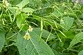 Korina 2013-08-13 Impatiens parviflora 3.jpg