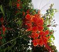 Krishnachura flower (2).jpg