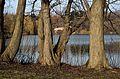 Kurpark Oberlaa 67 - Pterocarya fraxinifolia.jpg